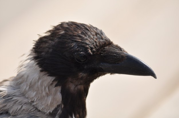 A closeup of a hooded crow in Rome, Italy