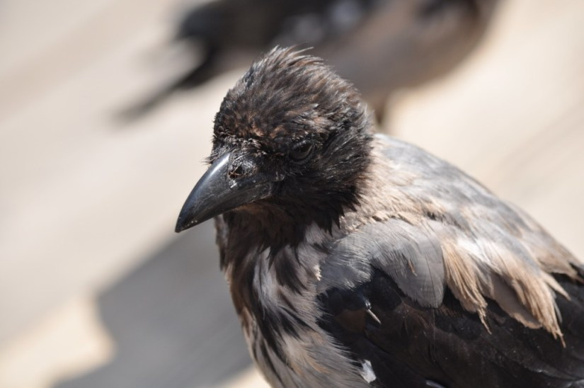 hooded crow, rome, italy, pic 4
