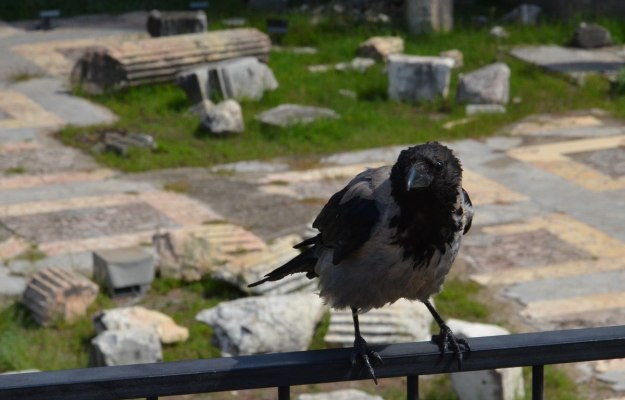 A hooded crow sitting on the railing at Trajan's Market, in Rome, Italy