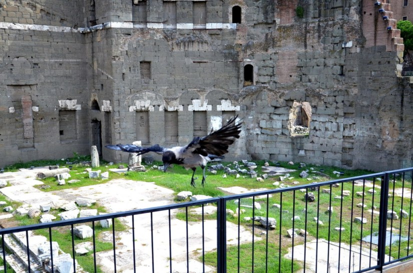 A hooded crow taking flight at Trajan's Market, in Rome, Italy