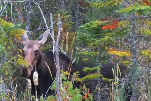 moose, algonquin park, ontario, pic 1