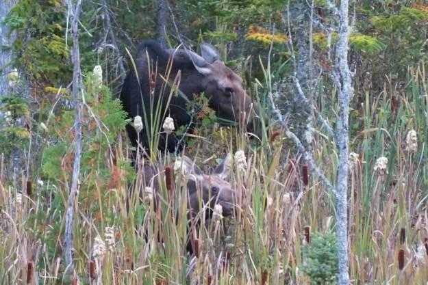 moose, algonquin park, ontario, pic 2