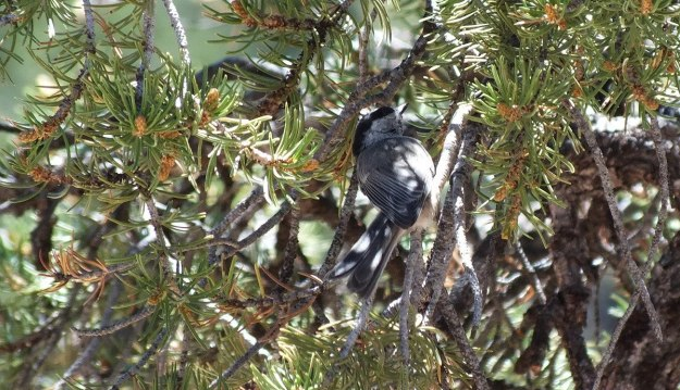 Mountain chickadee among tree limbs at Grand Canyon National Park, Arizona, U.S.A.