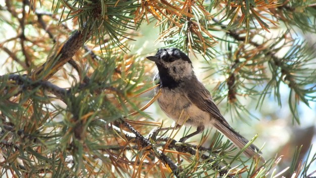 Mountain chickadee sitting in a tree at Grand Canyon National Park, Arizona, U.S.A.