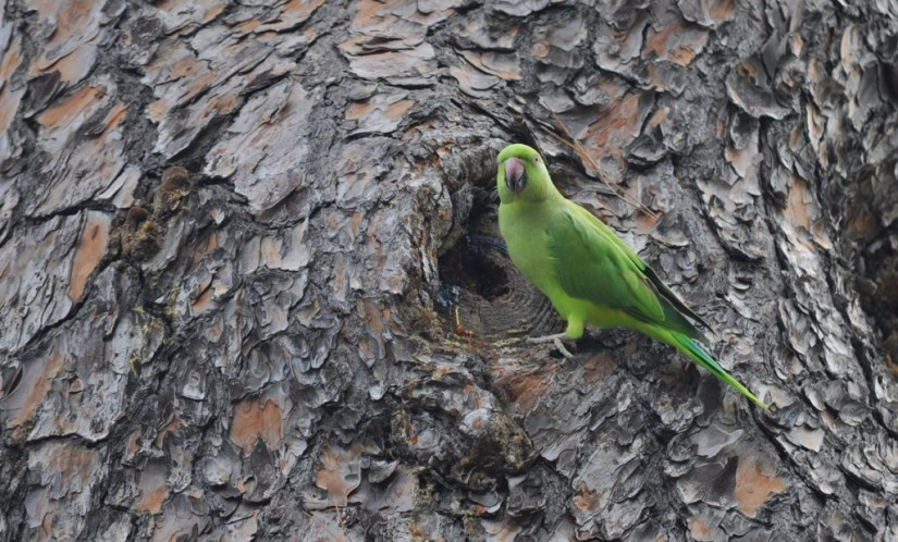 An image of a Rose-ringed parakeet eating tree sap in Villa Borghese Park in Rome, Italy. Photography by Frame To Frame - Bob and Jean.