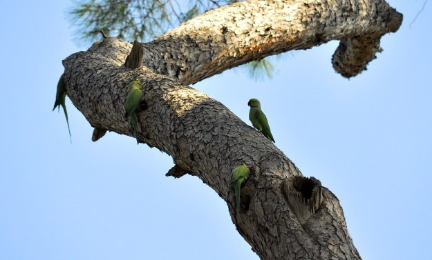 An image of four Rose-ringed parakeets on a tree in Villa Borghese Park in Rome, Italy. Photography by Frame To Frame - Bob and Jean.