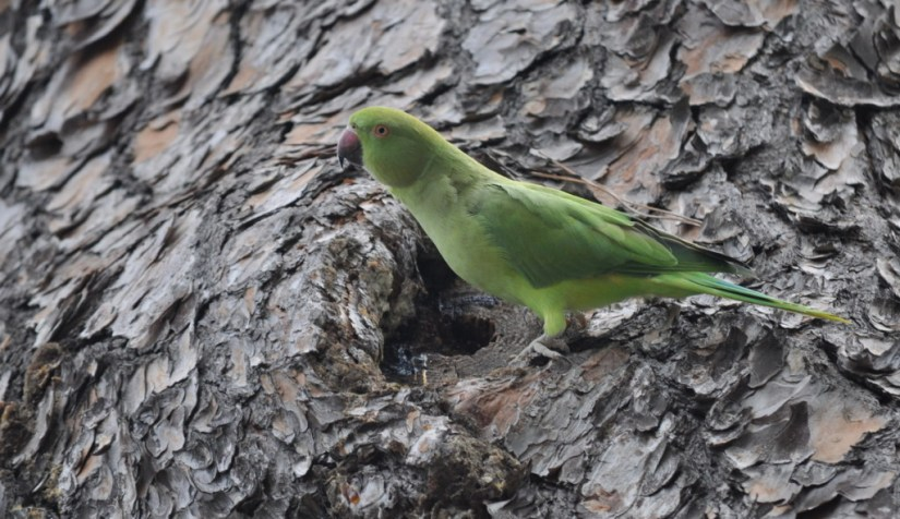 An image of a Rose-ringed parakeet sitting on the side of tree in Villa Borghese Park in Rome, Italy. Photography by Frame To Frame - Bob and Jean.