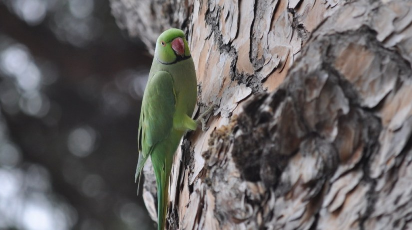 An image of a Rose-ringed parakeet on a tree in Rome, Italy. Photography by Frame To Frame - Bob and Jean.