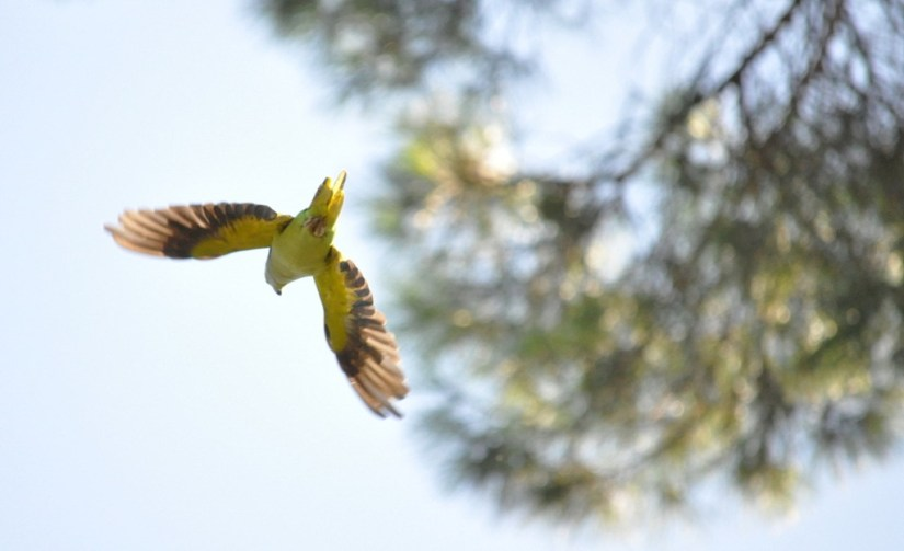 An image of a Rose-ringed parakeet in flight in Villa Borghese Park in Rome, Italy. Photography by Frame To Frame - Bob and Jean.