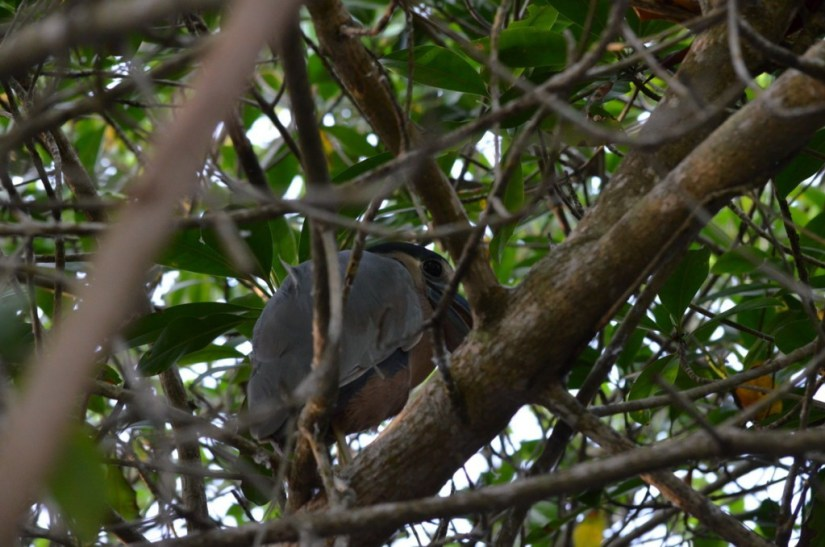 Photo of a Duck-billed Heron in the mangrove swamp near San Blas, Mexico