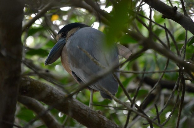Photo of a Duck-billed Heron among trees in the mangrove swamp near San Blas, Mexico