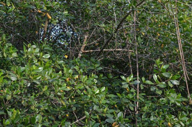 Photo of a Lesser Nighthawk sitting in a tree in the mangrove swamp near San Blas, Mexico