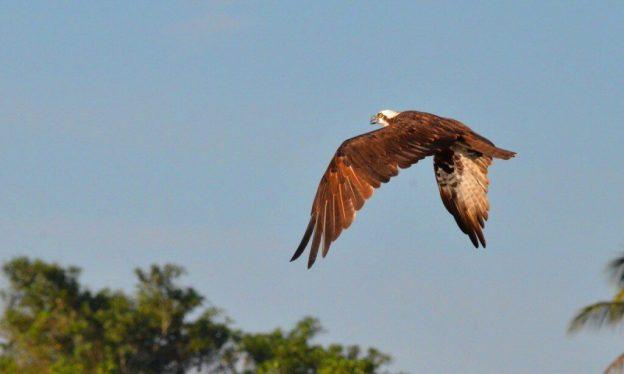 Photo of a Osprey along the San Cristobal River near San Blas, Mexico