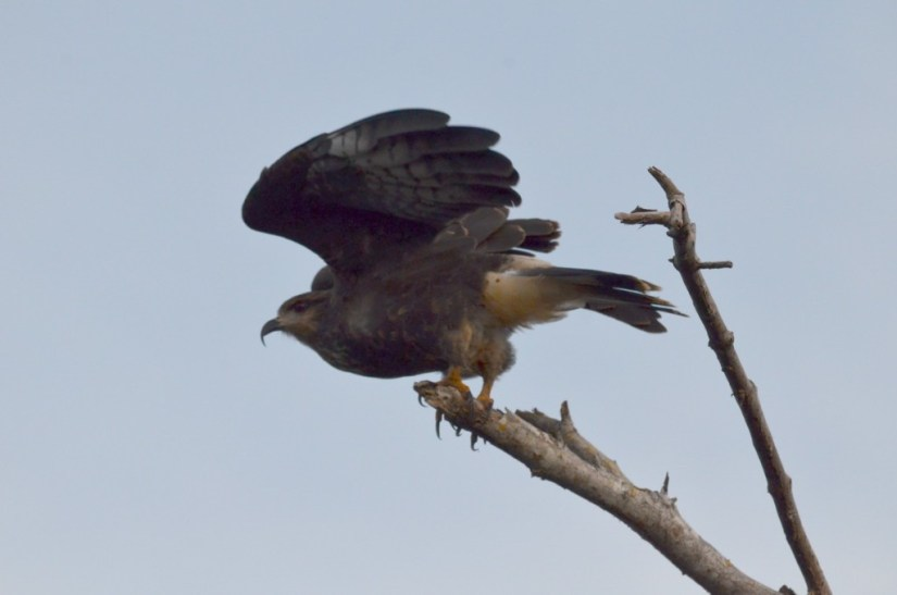 Photo of a Snail Kite taking flight in the mangrove swamp near San Blas, Mexico