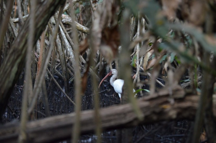 Photo of a White Ibis in the mangrove swamp near San Blas, Mexico