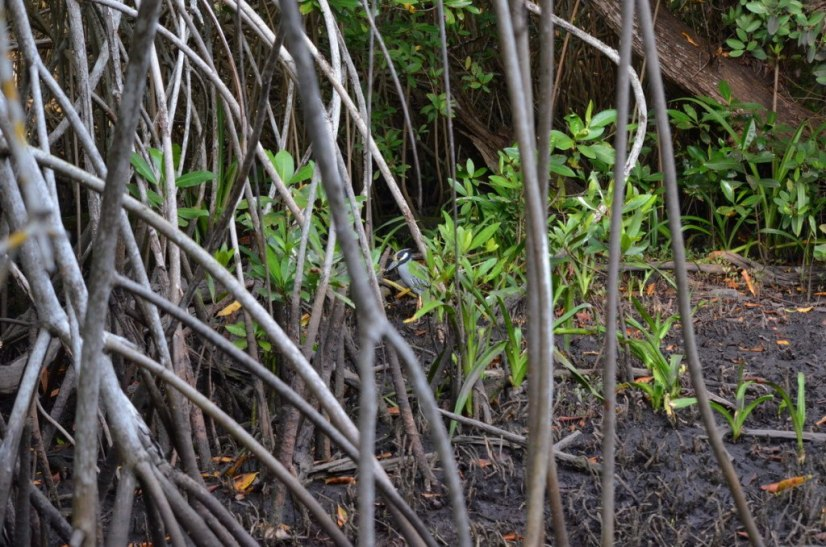Photo of a Yellow-crowned Night Heron among the vegetation in the mangrove swamp near San Blas, Mexico