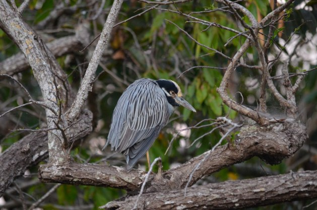 Yellow-crowned Night Heron 3, mangrove swamp, san blas, nayarit, mexico