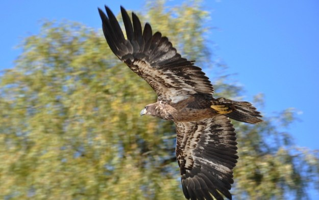 Juvenile Bald Eagle in flight near Ajax, Ontario.