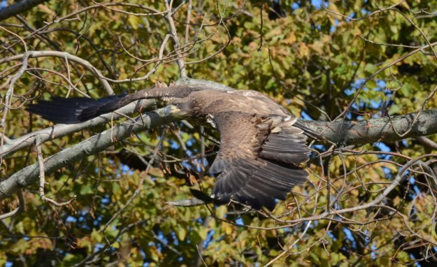 Juvenile Bald Eagle in flight from tree in Ajax, Ontario
