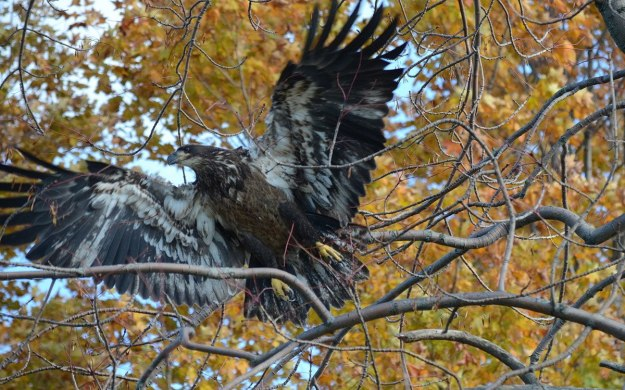 Juvenile Bald Eagle takes flight from tree in Ajax, Ontario