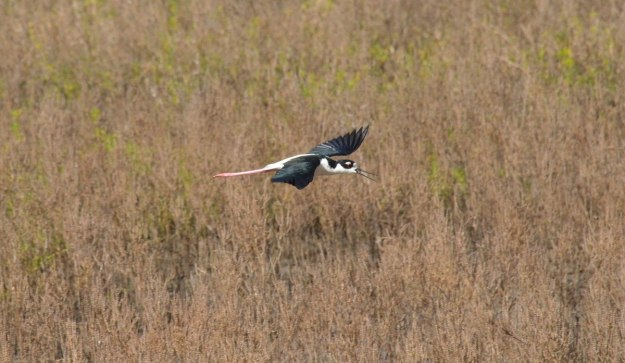 An image of a Black-necked stilt in flight at San Blas, Nayarit, Mexico.