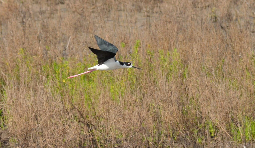 photograph of a Black-necked stilt in flight at the shrimp ponds at San Blas in the state of Nayarit, Mexico.