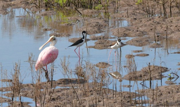 An image of two black-necked stilts beside a Roseate Spoonbill in the shrimp pond near San Blas, Mexico.