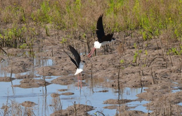 An image of two Black-necked stilts taking flight at the shrimp ponds near San Blas, Nayarit, Mexico.
