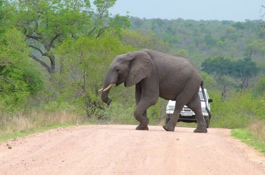 photograph of an elephant crossing a dirt road at Kruger National Park in South Africa