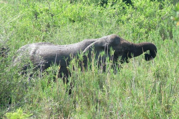 African Bush Elephant eating grass along a river in Kruger National Park, South Africa