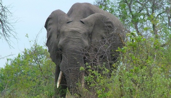 An image of an African Bush Elephant eating bushes in Kruger National Park, South Africa. Photography by Frame To Frame - Bob and Jean.
