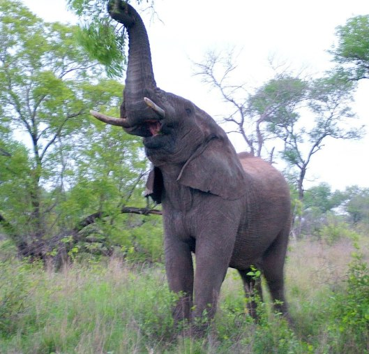 African Bush Elephant eats leaves from a tree in Kruger National Park, South Africa