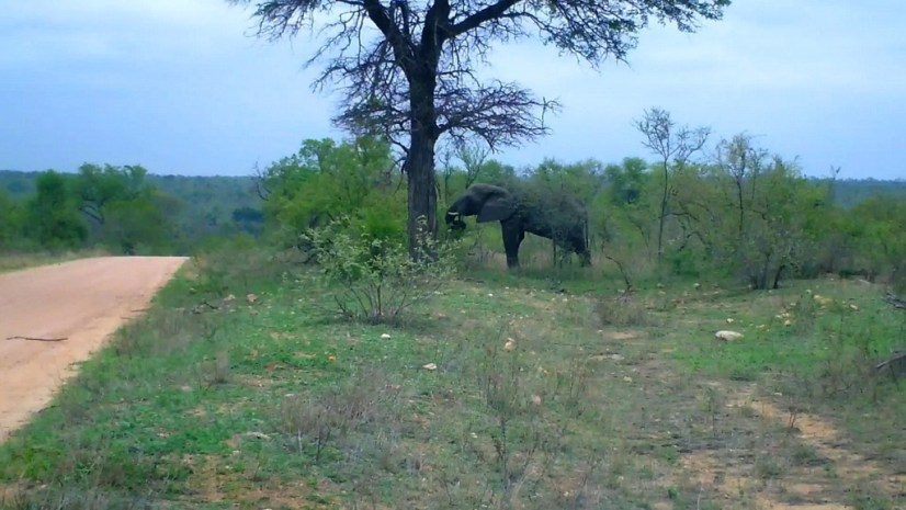 An African Bush Elephant in Kruger National Park, South Africa