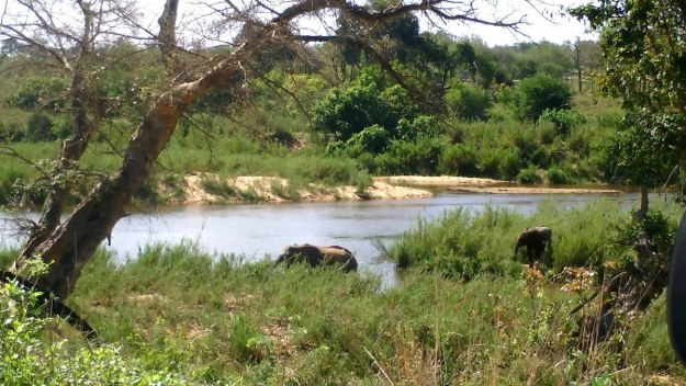 African Bush Elephants along a river in Kruger National Park, South Africa