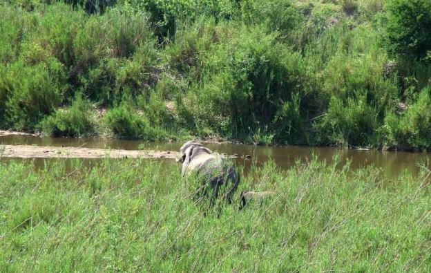 elephants along river, kruger national park, south africa