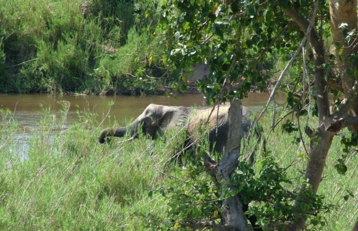 African Bush Elephant eating grass along a river in Kruger National Park