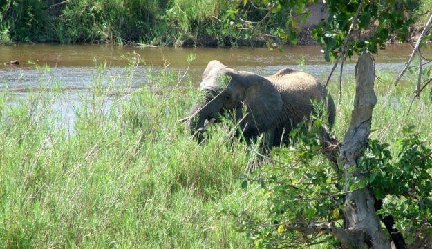 African Bush Elephant eating along a river in Kruger National Park, South Africa
