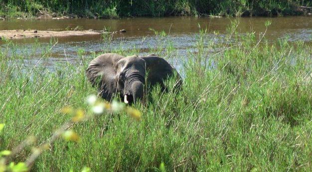 African Bush Elephant along a river in Kruger National Park, South Africa