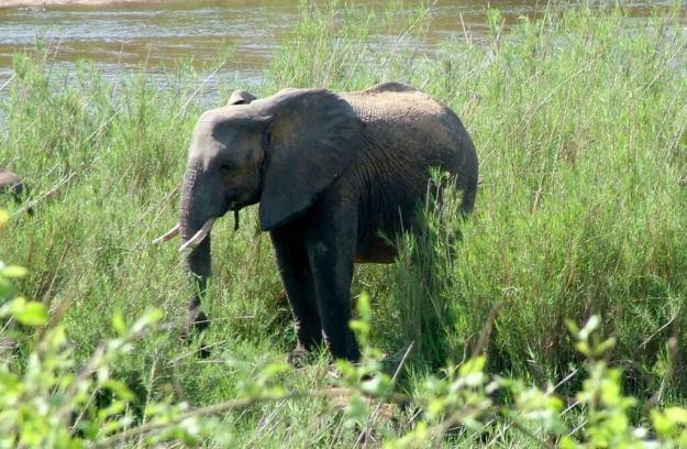 African Bush Elephants along a river in Kruger National Park, South Africa