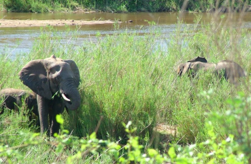 An image of African Bush Elephants eating plants along a river in Kruger National Park, South Africa. Photography by Frame To Frame - Bob and Jean.