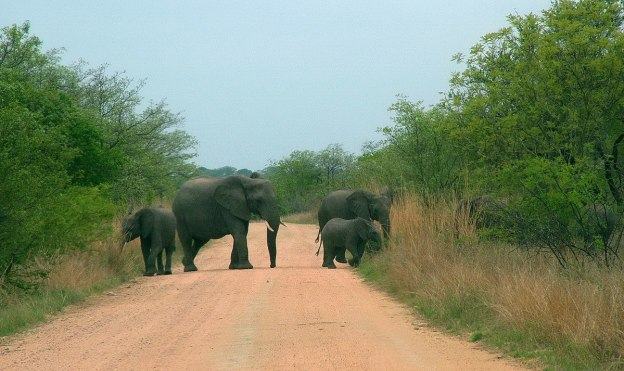 African Bush Elephants crossing a dirt road in Kruger National Park, South Africa