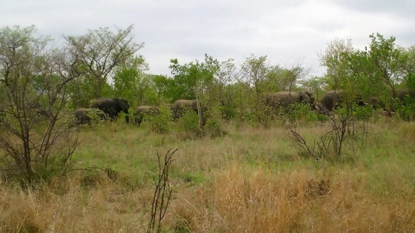 An image of a herd of elephants moving across the savannah in Kruger National Park, in South Africa. Photography by Frame To Frame - Bob and Jean.