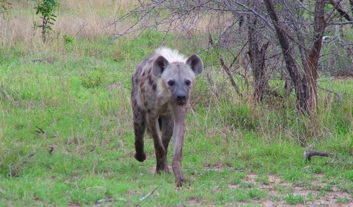 hyena on armed safari, kruger national park, south africa, pic 12