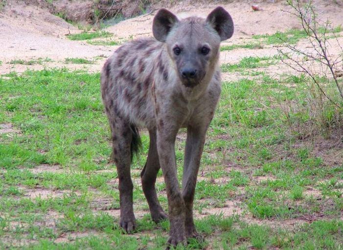 hyena on armed safari, kruger national park, south africa, pic 16
