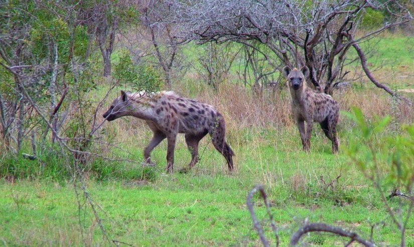 hyenas on armed safari, kruger national park, south africa