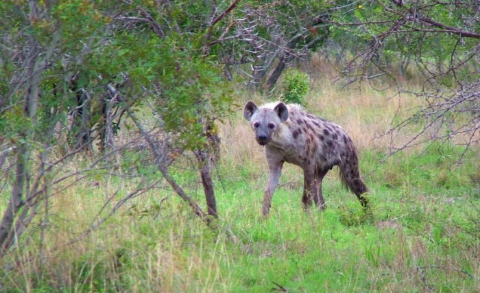 hyenas on armed safari, kruger national park, south africa, pic 6