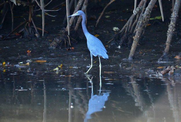 Photo of a Little blue heron along the shore of the San Cristobal River near San Blas, Mexico
