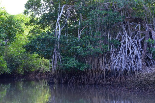 Photo of the vegetation along the canal in the mangrove swamp near San Blas, Mexico