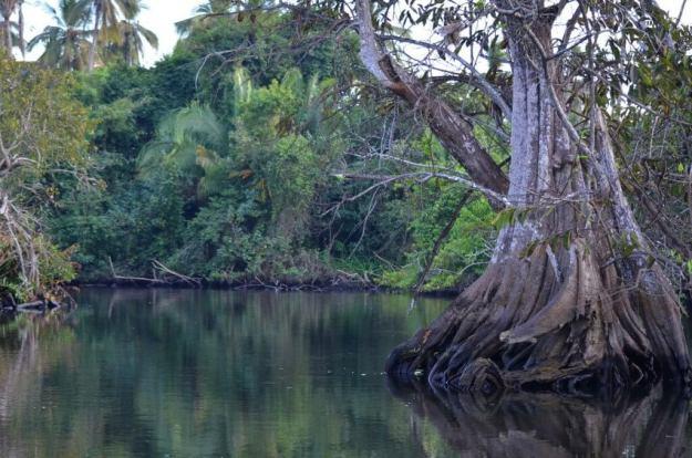 In the depths of the mangrove swamp near San Blas, Nayarit, Mexico
