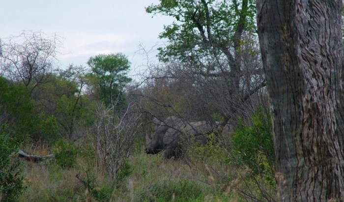 rhino on armed safari, kruger national park, south africa, pic 2